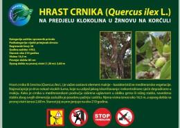 Hrast crnika na Korčuli