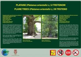 Platane Trsteno