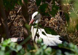 Pedro, bijela roda (Ciconia ciconia)