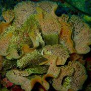 morska čipka (Reteporella spp)