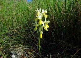 Malocvjetni kaćun (Orchis provincialis pauciflora)