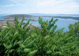 pajasen (Alianthus altissima)