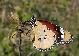Danaus chrysippus Nymphalidae Lepidoptera