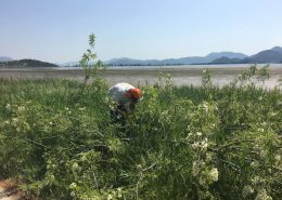 Uklanjanje alohtonih vrsta na ušću rijeke Neretve