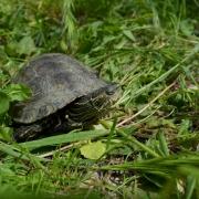 Riječna kornjača (Mauremys rivulata)