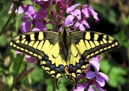 Lastin rep (Papilio machaon)