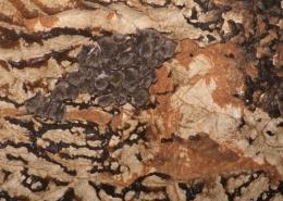 Dugonogi šišmiš (Myotis capaccinii)