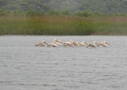 Monitoring preletnica-ružičasti nesit (pelikan)Pelecanus onocrotalus