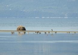 Monitoring preletnice - divlje patke Anas platyrhynchos